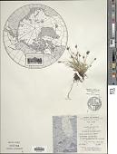 view Carex glacialis Mack. digital asset number 1