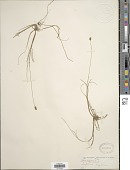 view Carex dioica L. digital asset number 1