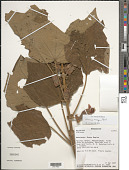view Hibiscus macrogonus Baill. digital asset number 1