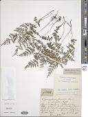 view Cystopteris fragilis (L.) Bernh. digital asset number 1