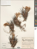 view Pitcairnia heterophylla (Lindl.) Beer digital asset number 1