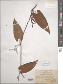 view Aristolochia tagala Cham. digital asset number 1