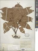 view Swietenia macrophylla King digital asset number 1