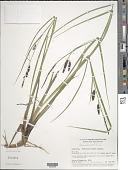 view Carex saxatilis L. digital asset number 1