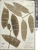 view Posoqueria longiflora Aubl. subsp. longiflora digital asset number 1