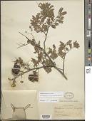 view Libidibia coriaria (Jacq.) Schltdl. digital asset number 1
