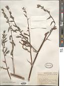 view Pitcairnia pulverulenta Ruiz & Pav. digital asset number 1