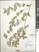 view Tribulus cistoides L. digital asset number 1
