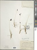 view Carex atrofusca Schkuhr digital asset number 1