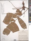 view Connarus punctatus Planch. digital asset number 1