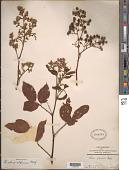 view Rubus alpinus Macfad. ex Griseb. digital asset number 1