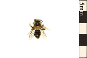 view Mining Bee, Andrenid Bee digital asset number 1