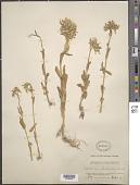 view Kalanchoe glandulosa Hochst. digital asset number 1