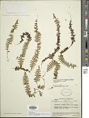 view Alansmia variabilis (Mett.) Moguel & M. Kessler digital asset number 1