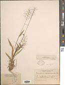 view Dichanthelium strigosum (Muhl. ex Elliott) Freckmann digital asset number 1