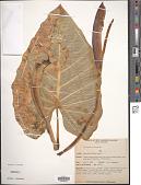 view Alocasia macrorrhizos (L.) G. Don digital asset number 1