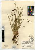 view Carex miliaris f. longepedunculata Lepage digital asset number 1