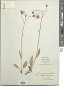 view Hieracium oleosum (Dahlst. ex Zahn) Dahlst. digital asset number 1