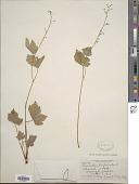 view Tiarella trifoliata L. digital asset number 1