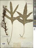 view Polypodium scolopendria Burm. f. digital asset number 1