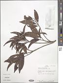 view Byrsonima spicata (Cav.) DC. digital asset number 1