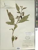 view Solanum saponaceum Dunal digital asset number 1