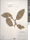 view Ficus godeffroyi Warb. digital asset number 1
