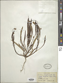 view Plantago amplexicaulis Cav. digital asset number 1