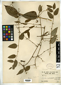 view Smilax microphylla C.H. Wright digital asset number 1