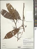 view Lindackeria paludosa (Benth.) Gilg digital asset number 1