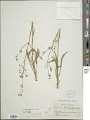 view Valeriana edulis Nutt. ex Torr. & A. Gray digital asset number 1