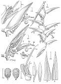 view Heliconia chartacea var. meeana W.J. Kress digital asset number 1