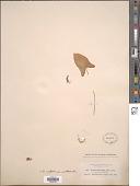 view Arisarum vulgare subsp. subexertum (Webb & Berthel.) G. Kunkel digital asset number 1