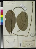view Hydnocarpus alcalae C. DC. digital asset number 1