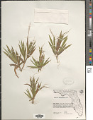 view Dichanthelium strigosum var. glabrescens (Griseb.) Freckmann digital asset number 1