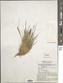 view Agrostis sp. digital asset number 1