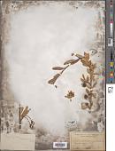 view Peraphyllum ramosissimum Nutt. digital asset number 1