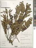 view Senna nicaraguensis (Benth.) H.S. Irwin & Barneby digital asset number 1