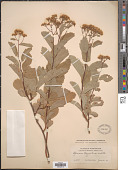 view Spiraea corymbosa digital asset number 1