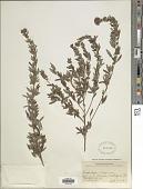 view Lespedeza virginica (L.) Britton digital asset number 1