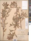 view Salix eriocephala subsp. mackenzieana var. ligulifolia digital asset number 1