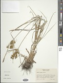 view Cyperus ovatus Baldwin var. ovatus digital asset number 1