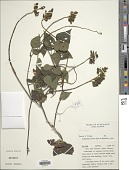 view Rhynchosia sp. digital asset number 1