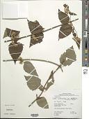 view Calea solidaginea subsp. deltophylla (R.S. Cowan) Pruski digital asset number 1