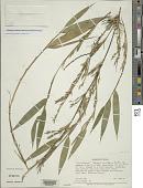 view Himalayacalamus falconeri (Munro) Keng f. digital asset number 1