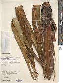 view Pitcairnia lehmannii Baker digital asset number 1