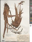 view Racinaea spiculosa var. stenoglossa (L.B. Sm.) M.A. Spencer & L.B. Sm. digital asset number 1