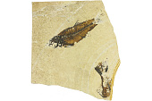 view Fossil Perch-like Fish digital asset number 1