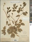 view Disporum hookeri var. trachyandrum (Torr.) Q. Jones digital asset number 1