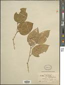 view Smilax rotundifolia L. digital asset number 1